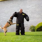 The Meridian K-9 Unit Patrol Dogs are Belgian Malinois, a breed similar in drive to German Shepherds but without the health concerns.
